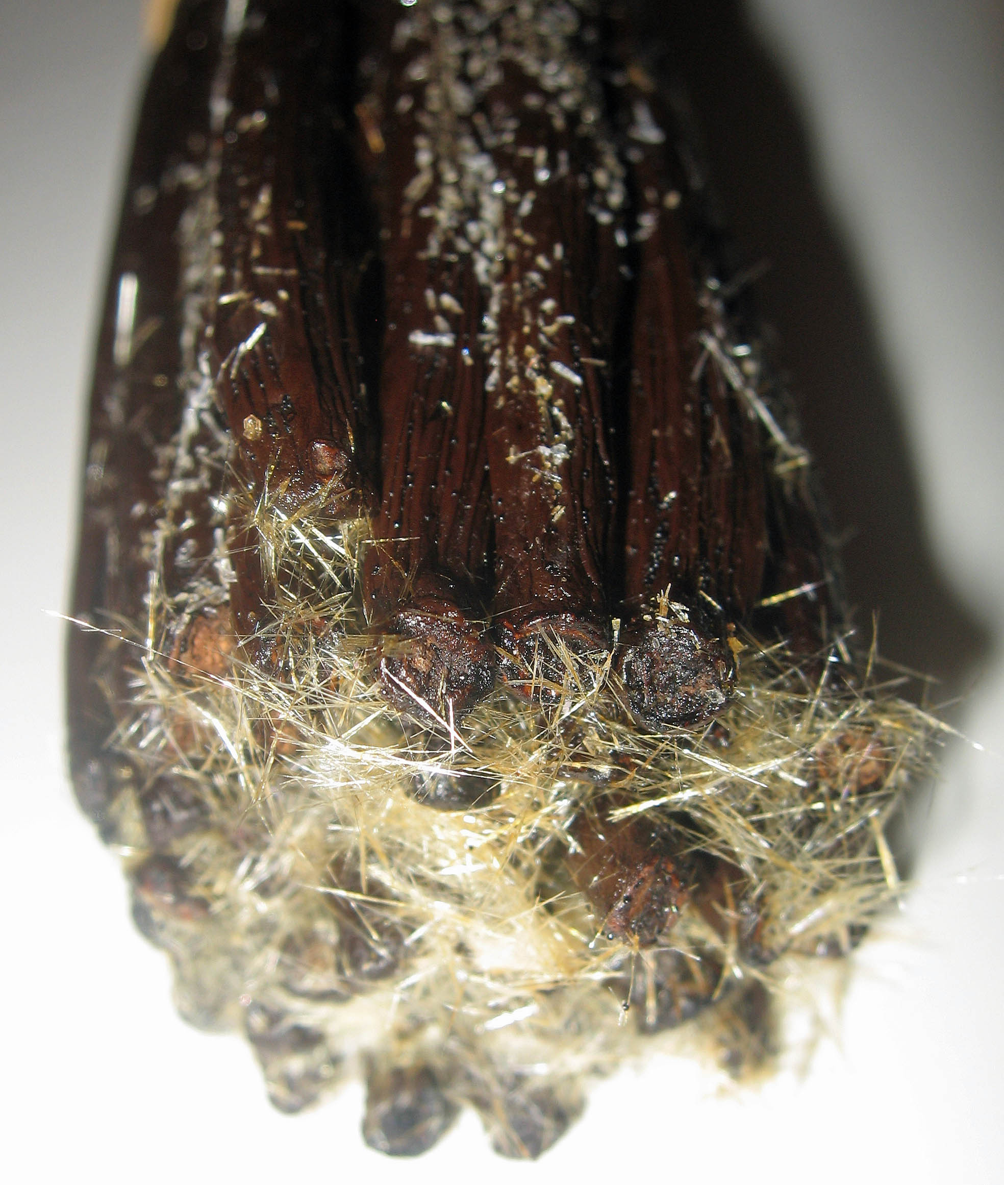 crystallized vanillin on vanilla beans